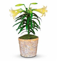 Plants: White Easter Lily Potted Plant
